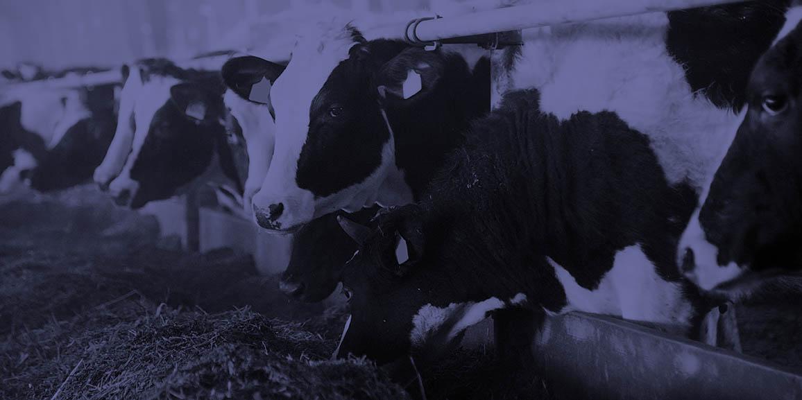 Mammite chez les vaches laitières